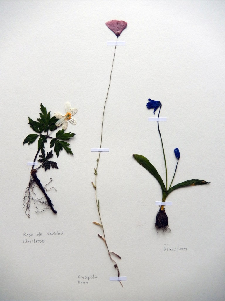 Christrose, Klatschmohn und Blaustern